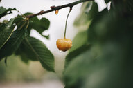 Close-up of wet yellow cherry growing on branch in garden - CAVF60909