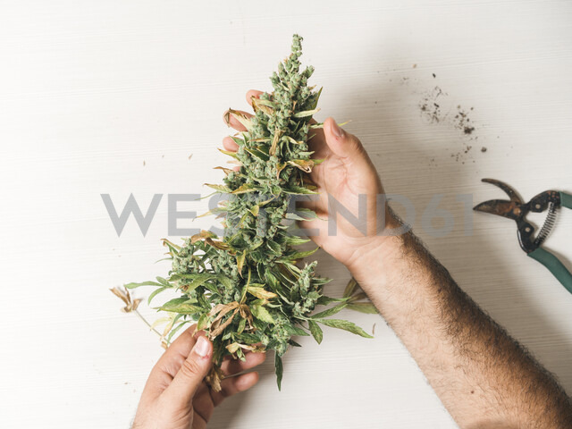 Cropped hands of man holding cannabis plant on table at home - CAVF60927