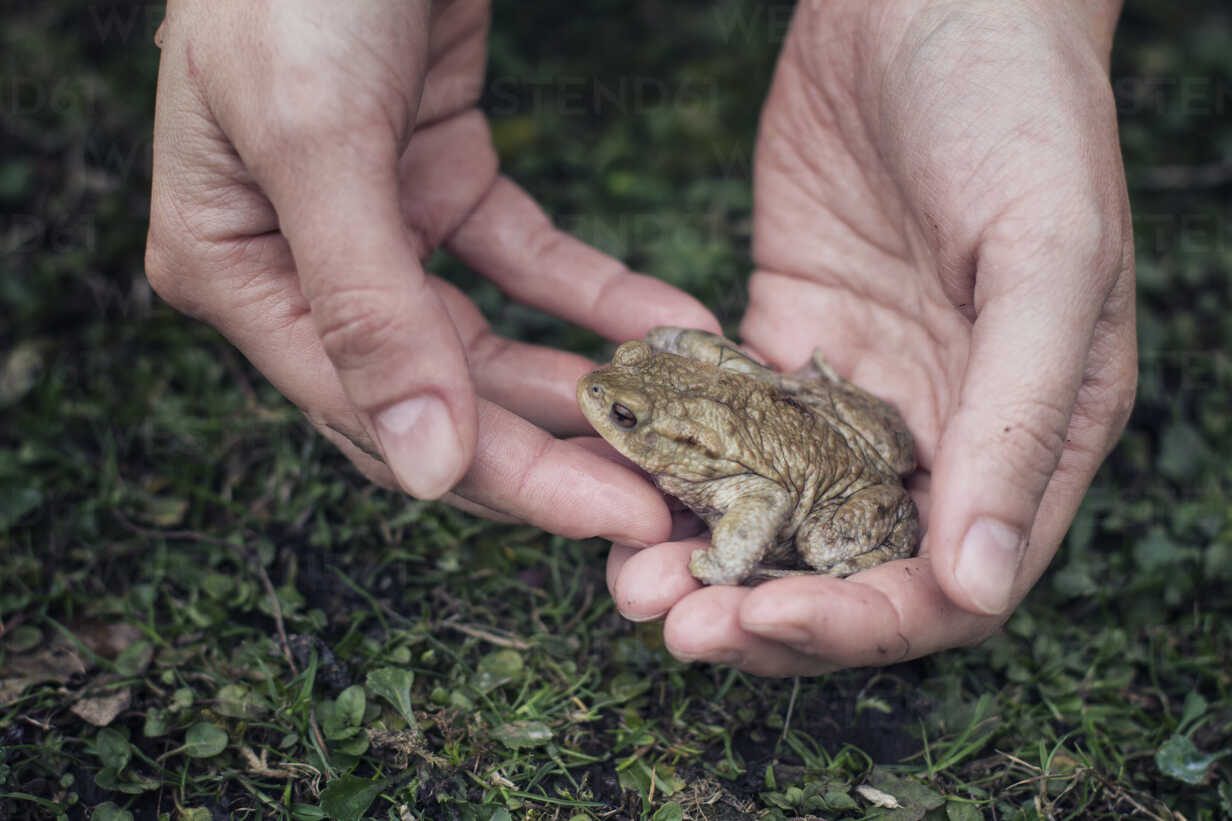 Close-up of woman holding European toad in hand - MAMF00446 - Maria Maar/Westend61