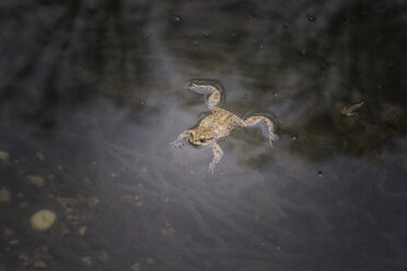 European toad in water - MAMF00449