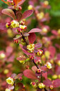 Blossoming twig of Common Barberry - CSF29315