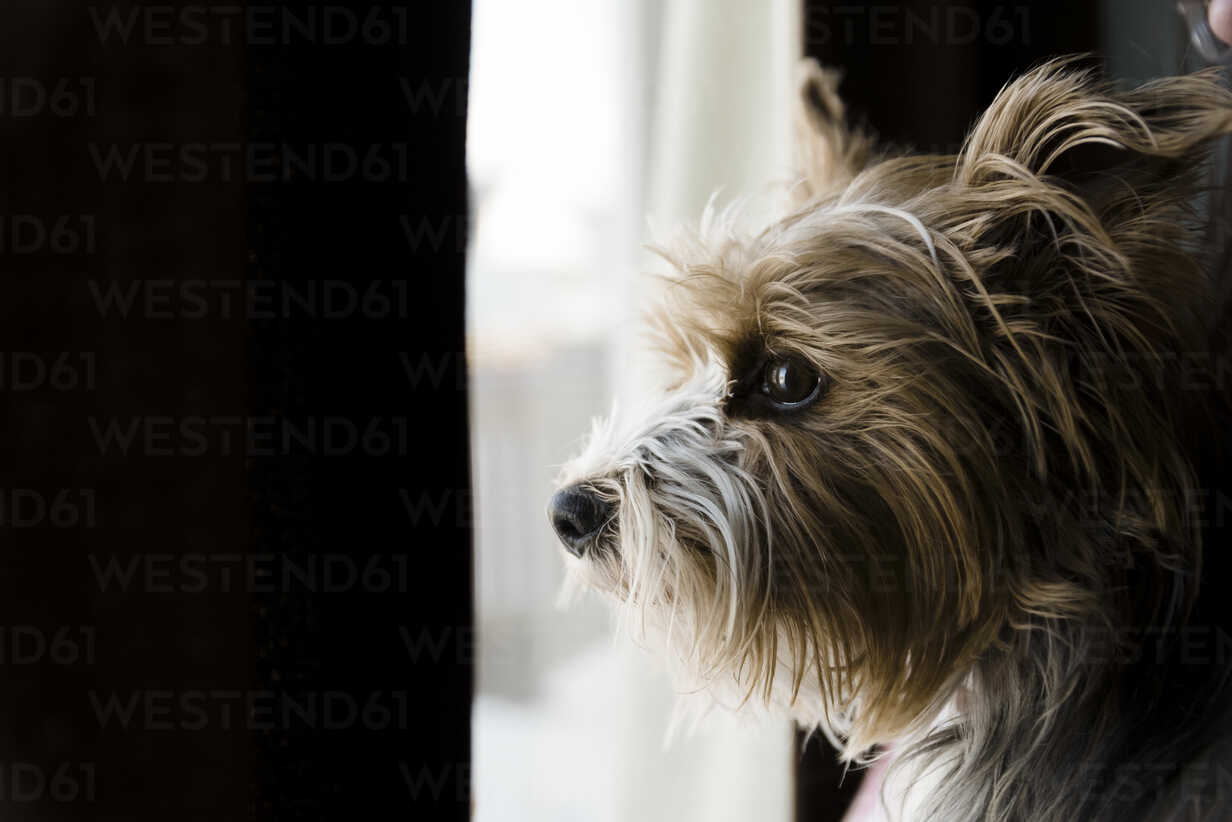 Close-up of dog looking through window at home - CAVF61223 - Cavan Images/Westend61
