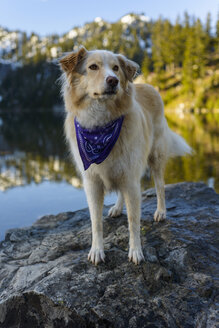Golden Retriever standing on rock in lake against mountain during winter - CAVF61776