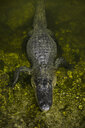 High angle view of alligator in mossy swamp at forest - CAVF61875