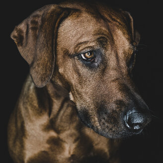 Close-up of brown dog looking away against black background - CAVF61977