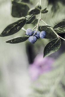 Blueberries, Vaccinium, close-up, copy space - DWIF00995