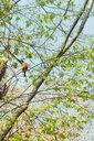 Robin redbreast, Erithacus rubecula, sitting on twig of a tree - DWIF00998
