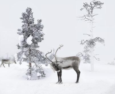 Finland, two reindeers in winter landscape - KLRF00796