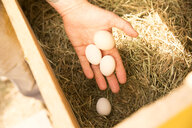 Hand collecting eggs in chickenhouse - MFRF01235