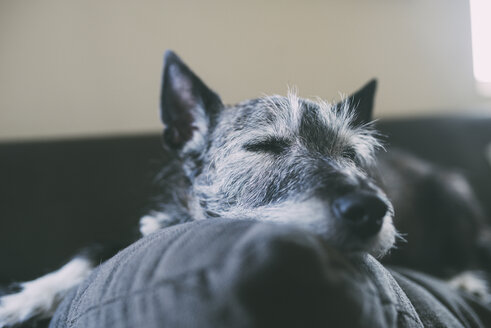 Close-up of dog sleeping on cushion against window at home - CAVF62422