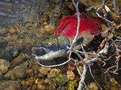 Dead sockeye salmon, Oncorhynchus nerka - GNF01432
