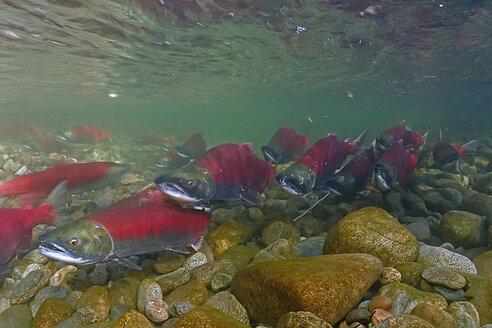 California, British Columbia, Adams River, Sockeye salmons, Oncorhynchus nerka - GNF01438