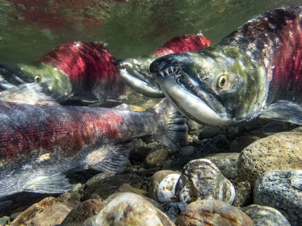 California, British Columbia, Adams River, Sockeye salmon, Oncorhynchus nerka - GNF01441