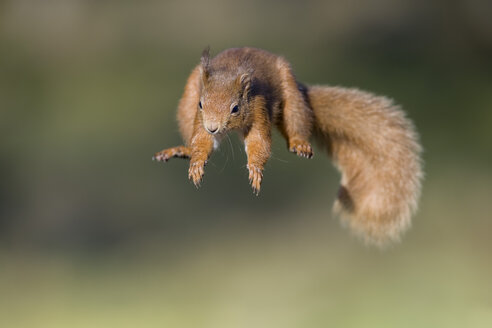 Red squirrel, Sciurus vulgaris, jumping - MJOF01681