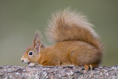 Red squirrel, Sciurus vulgaris - MJOF01684