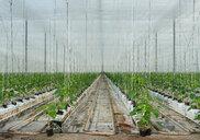 Growing bell peppers in modern dutch greenhouse, Zevenbergen, Noord-Brabant, Netherlands - CUF49568