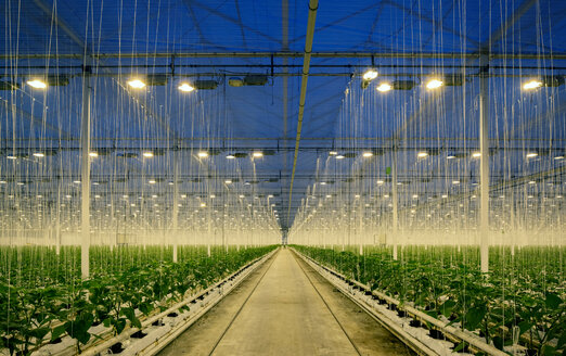 Growing bell peppers in modern dutch greenhouse, Zevenbergen, Noord-Brabant, Netherlands - CUF49574