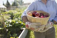 Woman holding bushel of fresh harvested apples garden - HEROF28409