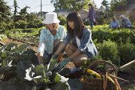 Women tending and harvesting community vegetable garden - HEROF28412