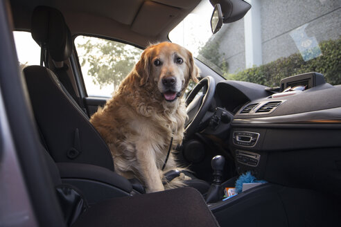 Golden Retriever sitting on driver's seat of a car - MAMF00482