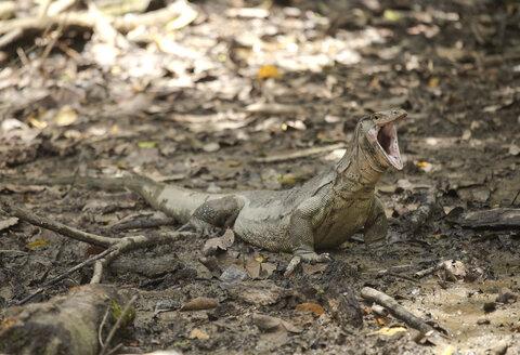Borneo, Sabah, Monitor Lizard, Varanus salvator, yawning - ZCF00705