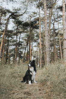 Netherlands, Schiermonnikoog, Border Collie in forest looking around - DWF00350