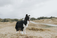 Netherlands, Schiermonnikoog, Border Collie in dune landscape looking around - DWF00353