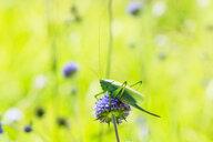 Green grasshopper on purple flower - CUF49883
