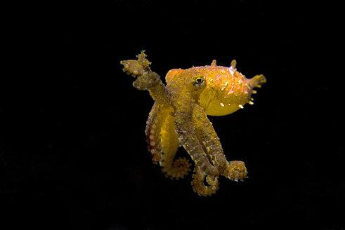 blaugeringelte Kraken, beim Nackttauchgang | Hapalochlaena lunulata, Hapalochlaena, Octopodidae - GNF01479