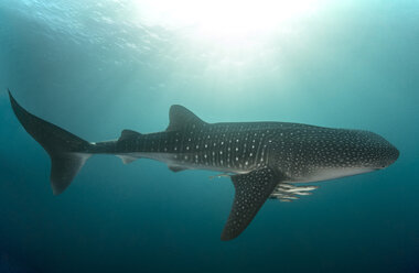 Whale shark with cleaner fish - GNF01485