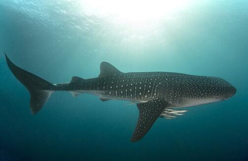 Whaleshark - Rhincodon typus - Walhai - GNF01485