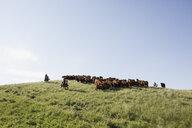 Female ranchers herding cattle on hilltop under blue sky - HEROF28830