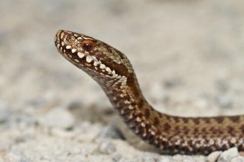 Common viper, Vipera berus - ZCF00715