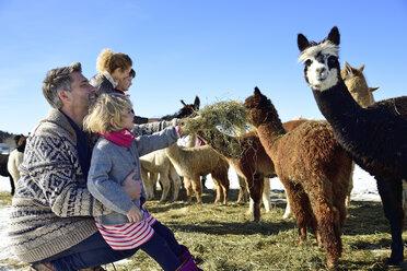 Family feeding alpacas with hay on a field in winter - ECPF00577