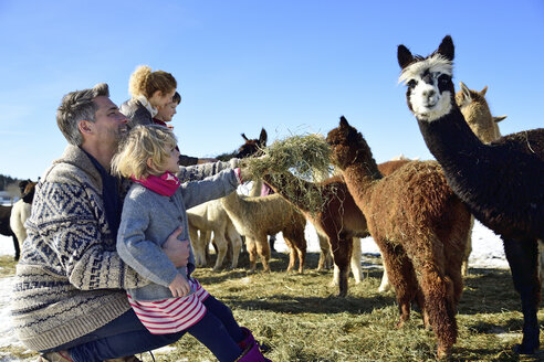 Family feeding alpacas with hay on a field in winter - ECPF00577