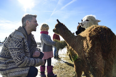Father and daughter feeding alpacas with hay on a field in winter - ECPF00580