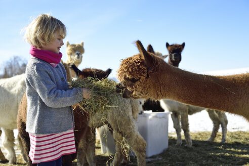 Girl feeding alpacas with hay on a field in winter - ECPF00586