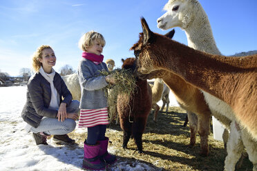 Mother and daughter feeding alpacas with hay on a field in winter - ECPF00589
