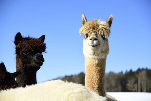Portrait of two alpacas outdoors in winter - ECPF00592