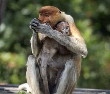Borneo, Sabah, Proboscis Monkeys, Nasalis larvatus, mother and young animal - ZC00724