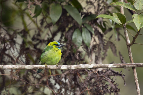 Malaysia, Borneo, Sabah, Kinabalu Park, Golden-naped barbet, Psilopogon pulcherrimus - ZC00729