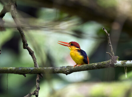 Malaysia, Borneo, Sabah, Sepilok nature reserve, Oriental dwarf kingfisher perching on twig - ZC00738