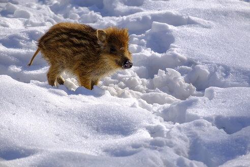 Wild boar shote in snow - LBF02500