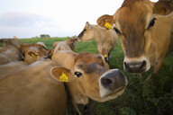 Close up of jersey cows in field - JUIF00302