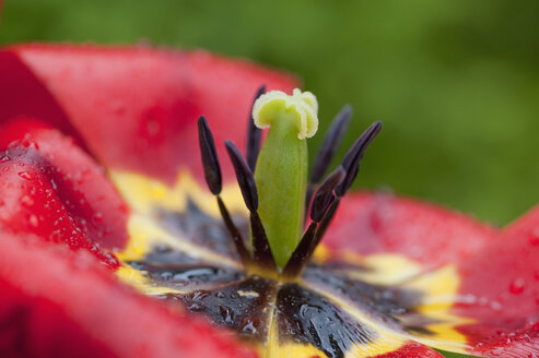 Rainy weather in spring, tulip, close-up - CRF02840