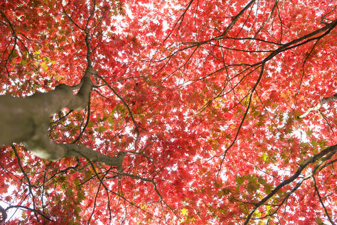 Low angle view of autumn leaves - JUIF00503
