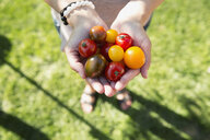 Overhead view woman holding fresh picked cherry tomatoes - HEROF32436