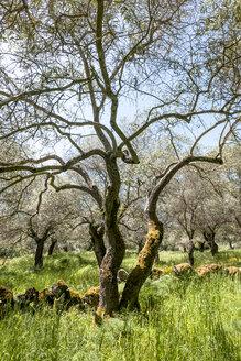 Italy, Sardinia, olive trees - EGBF00283