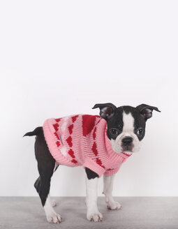Portrait of Boston terrier puppy wearing pink pullover with hearts - RTBF01293