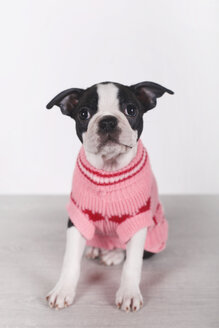 Portrait of Boston terrier puppy wearing pink pullover - RTBF01296